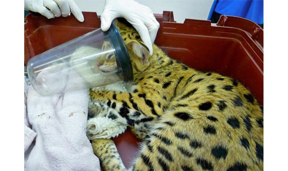 Assisting a feline friend at Santa Clara Animal Hospital