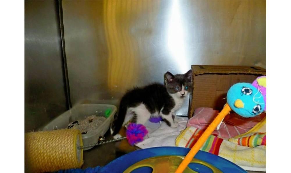 A kitten at Santa Clara Animal Hospital