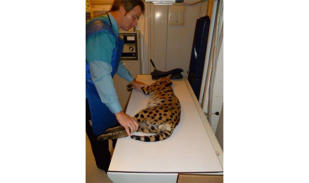 Santa Clara Animal Hospital preparation for treatment of an exotic friend