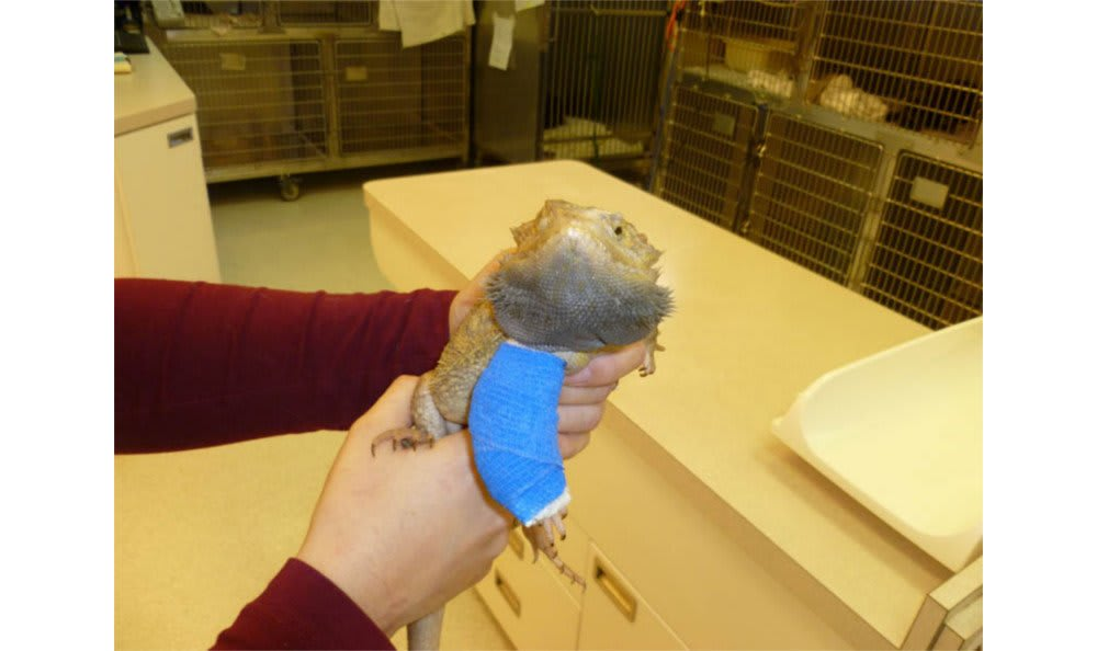 An iguana with a cast at Santa Clara Animal Hospital