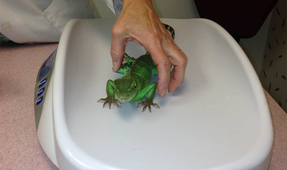 Waterdragon On A Scale At Larkin Veterinary Center In West Lawn