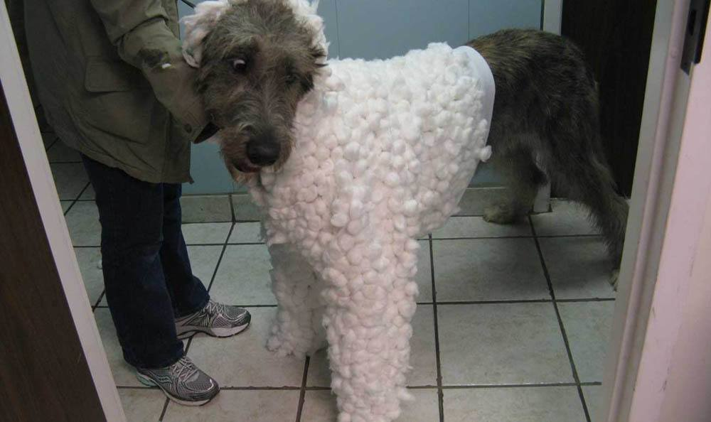 Big Dog In A Sweater At Friendswood Animal Clinic In Friendswood