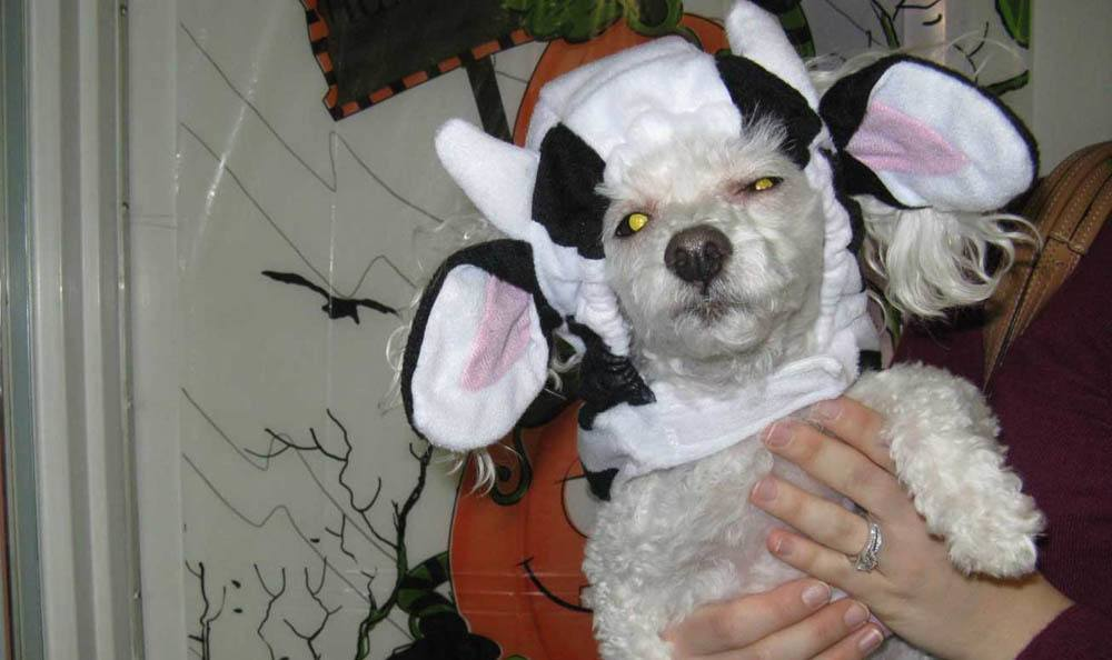 Dog In Cow Costume At Friendswood Animal Clinic