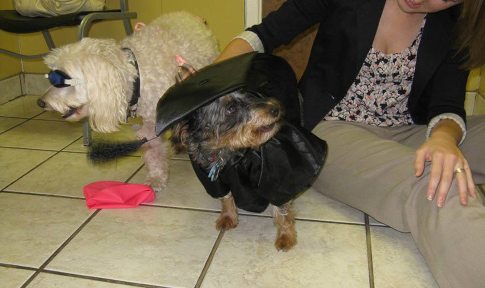 Little Dog In A Cap And Gown At Friendswood Animal Clinic In Friendswood