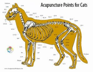 Acupuncture points for cats at Lenoir Veterinary Hospital