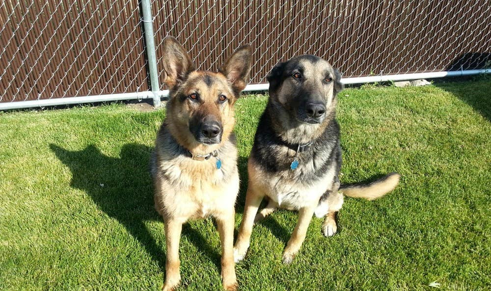 German Sheppards At Hendricks Veterinary Hospital In Boise