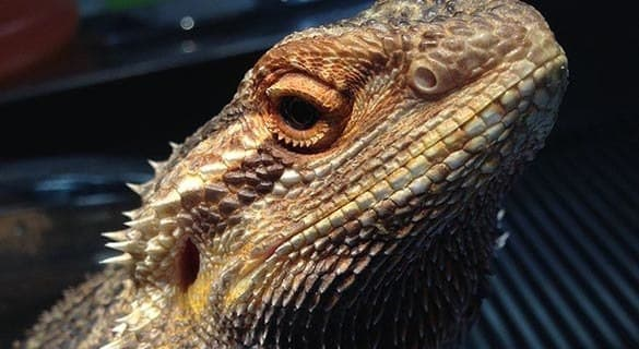 Mickey, bearded lizard