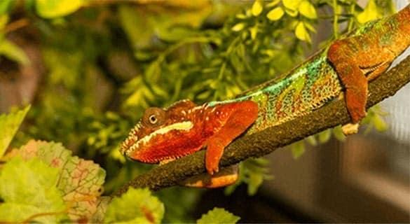 Herman, Panther Chameleon