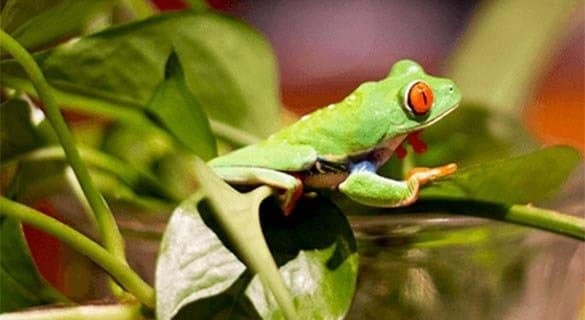 Arturo, Red-eyed tree frog