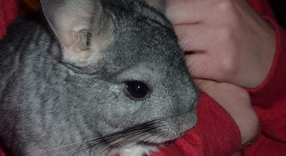 Chinchilla at All Creatures Animal Hospital