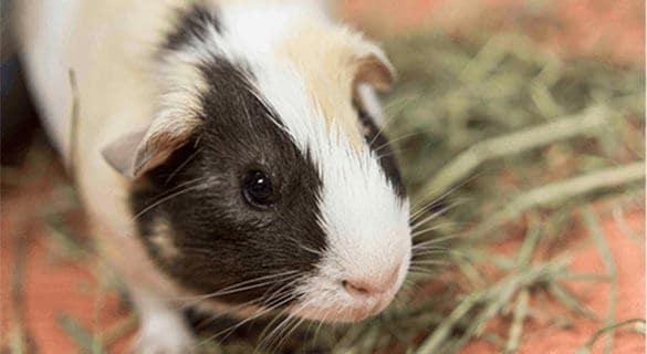 Penelope, Guinea Pig