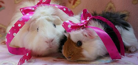 Guinea pig friendly at City Creatures Animal Hospital