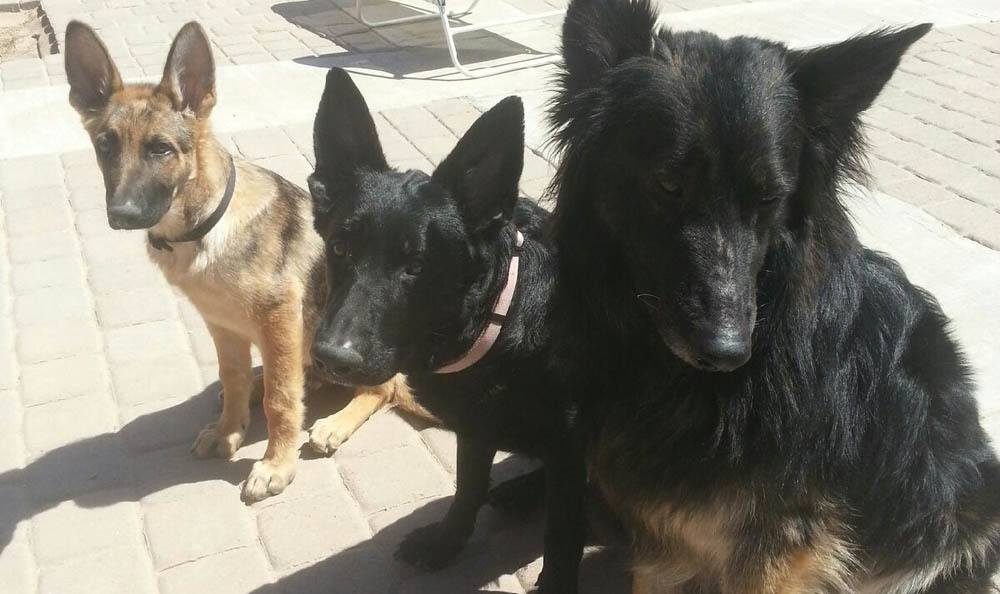 Three Good Dogs At Central Coast Pet Emergency Clinic