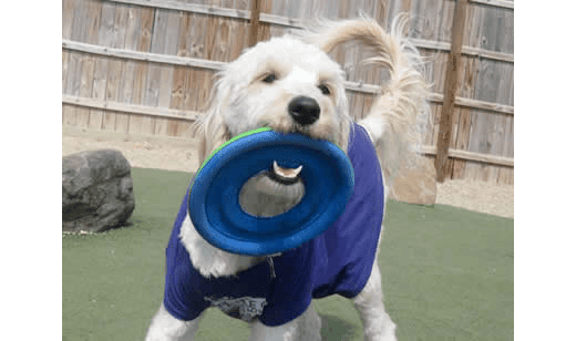 Dog playing with frisbee at University Pet Resort in Merced, California