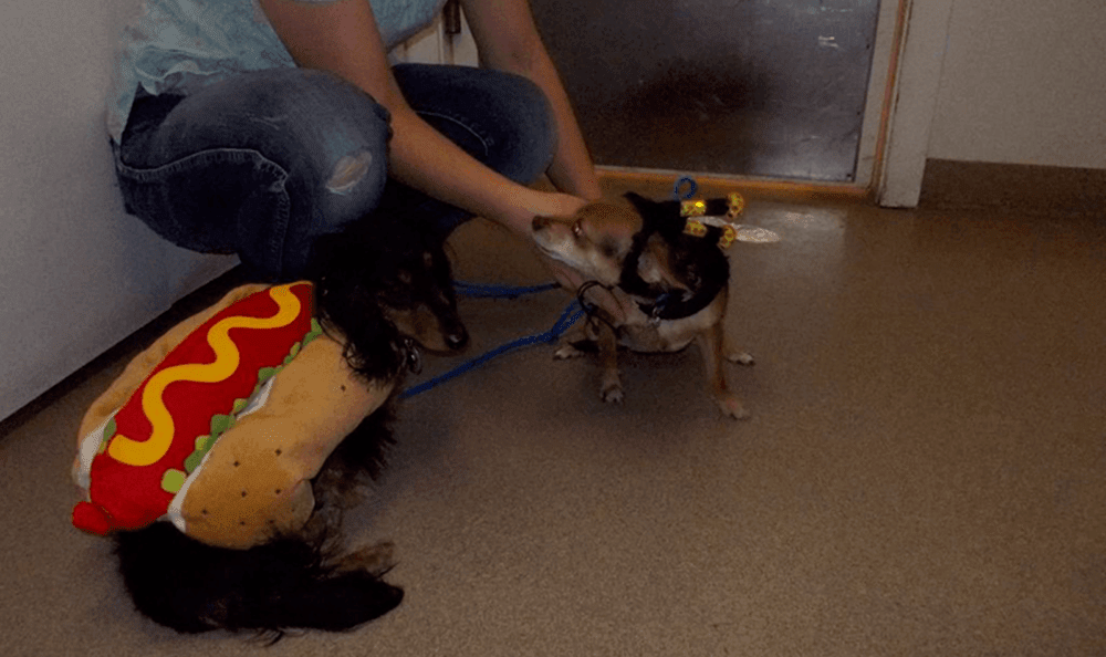 Pets in hotdog and bumblebee costumes in Roswell