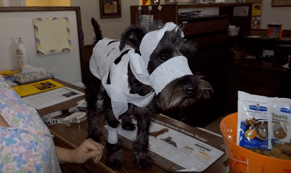Pet in mummy costume at College Garden Animal Hospital