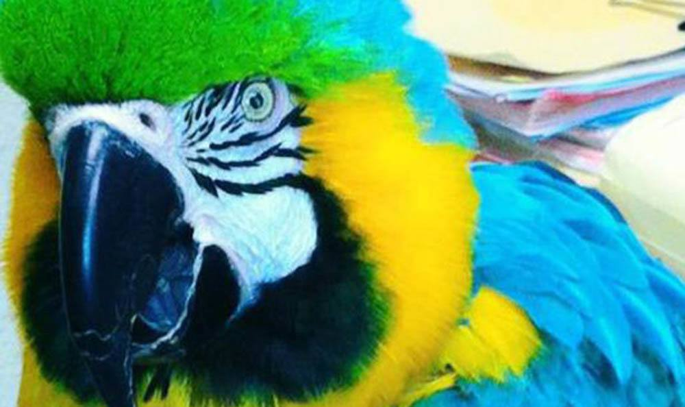 Jasmine The Parrot At Pet Samaritan Clinic Iun Portland