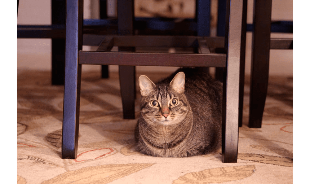Huge Cat Under A Chair