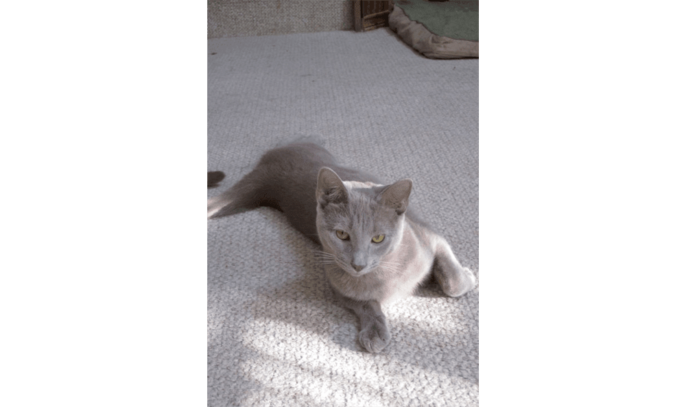Huge Gray Kitten