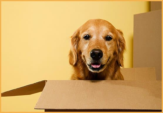 Golden retriever popping out of a box smiling