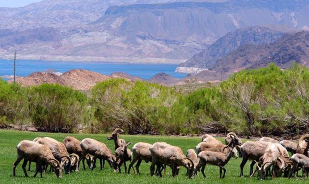 Lake Mead with Big Horn Sheep at Lakeview Terrace of Boulder City