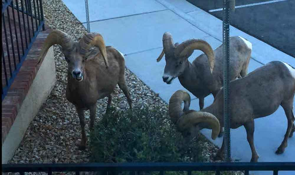 Bighorn Sheep Outside Window - Lakeview Terrace