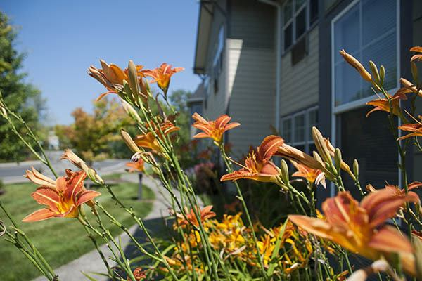 Day Lilies at Middlefield Oaks Assisted Living and Memory Care