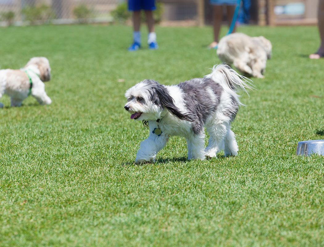 Residents playing with their dogs at Villetta Apartments's on-site Bark Park