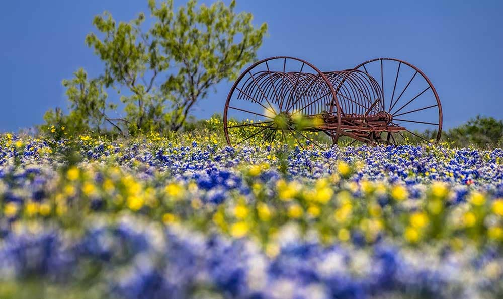 Pretty wild flowers flourish in Midland, Texas.