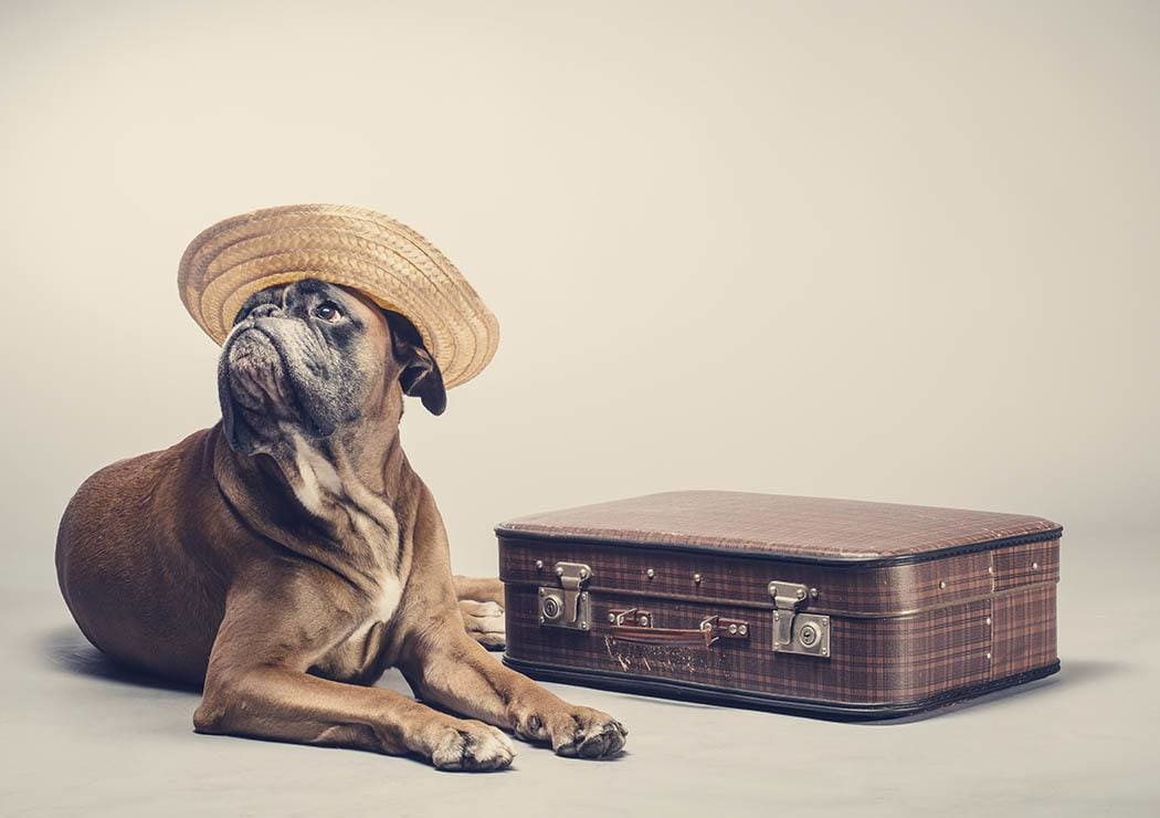 Dog with hat and suitcase staying at University Pet Resort in Merced, California