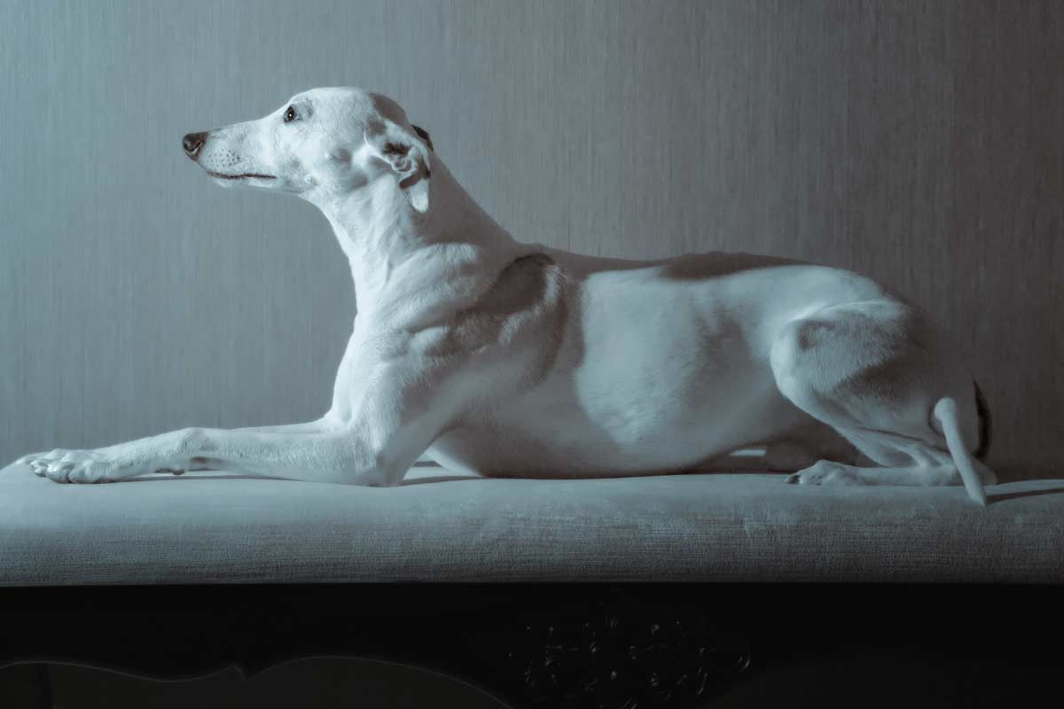 Greyhound dog on the couch at VIA Seaport Residences
