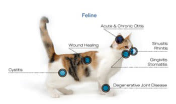Feline Laser Therapy at Riverside Animal Hospital South