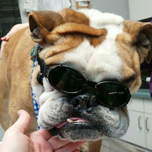 Pet receiving Laser Therapy at Lee's Summit Animal Hospital in MO