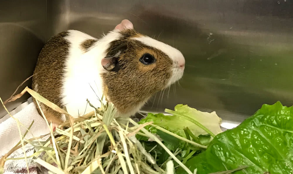 Guinea Pig at Elmwood Park Animal Hospital