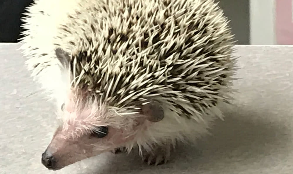 Hedgehog at Elmwood Park Animal Hospital