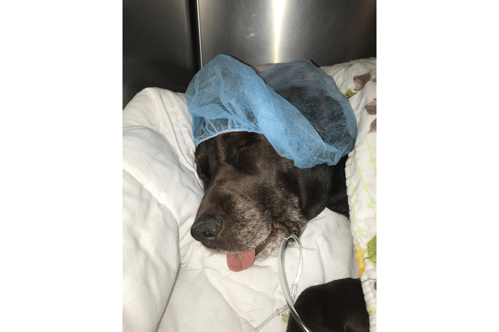 Dog after surgery at Oldtown Veterinary Hospital in Winston Salem
