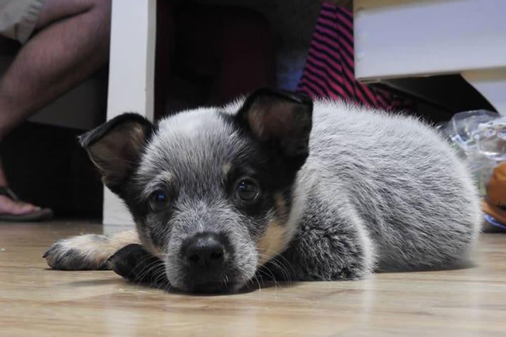 Blue Heeler puppy at Oldtown Veterinary Hospital in Winston Salem