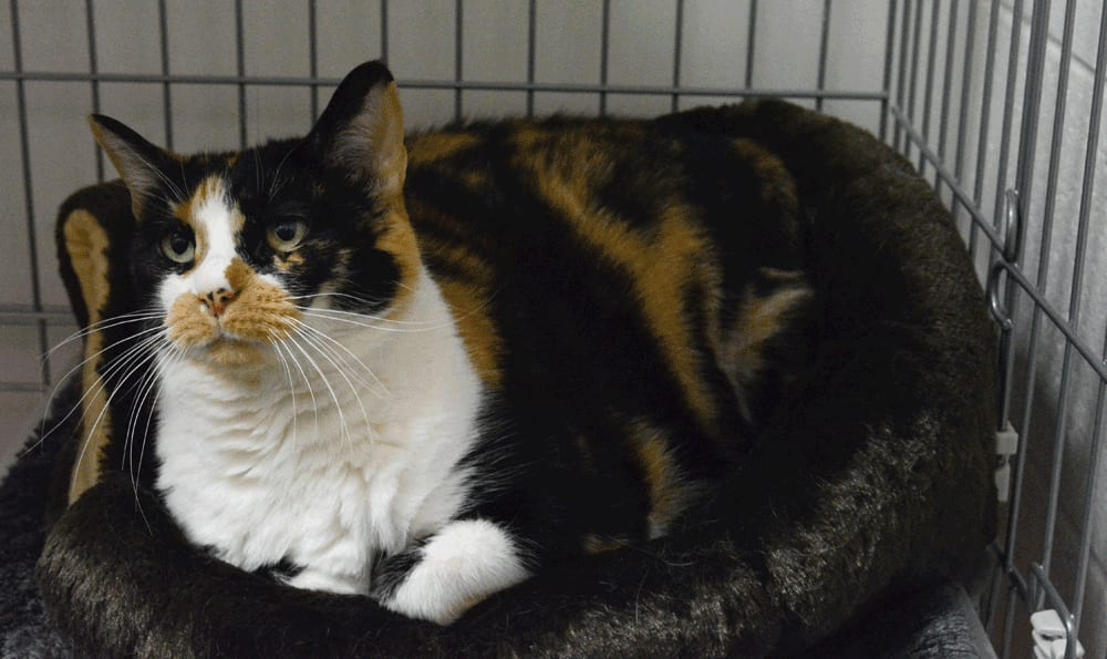 Patches the cat at Hidden Valley Animal Hospital & Boarding