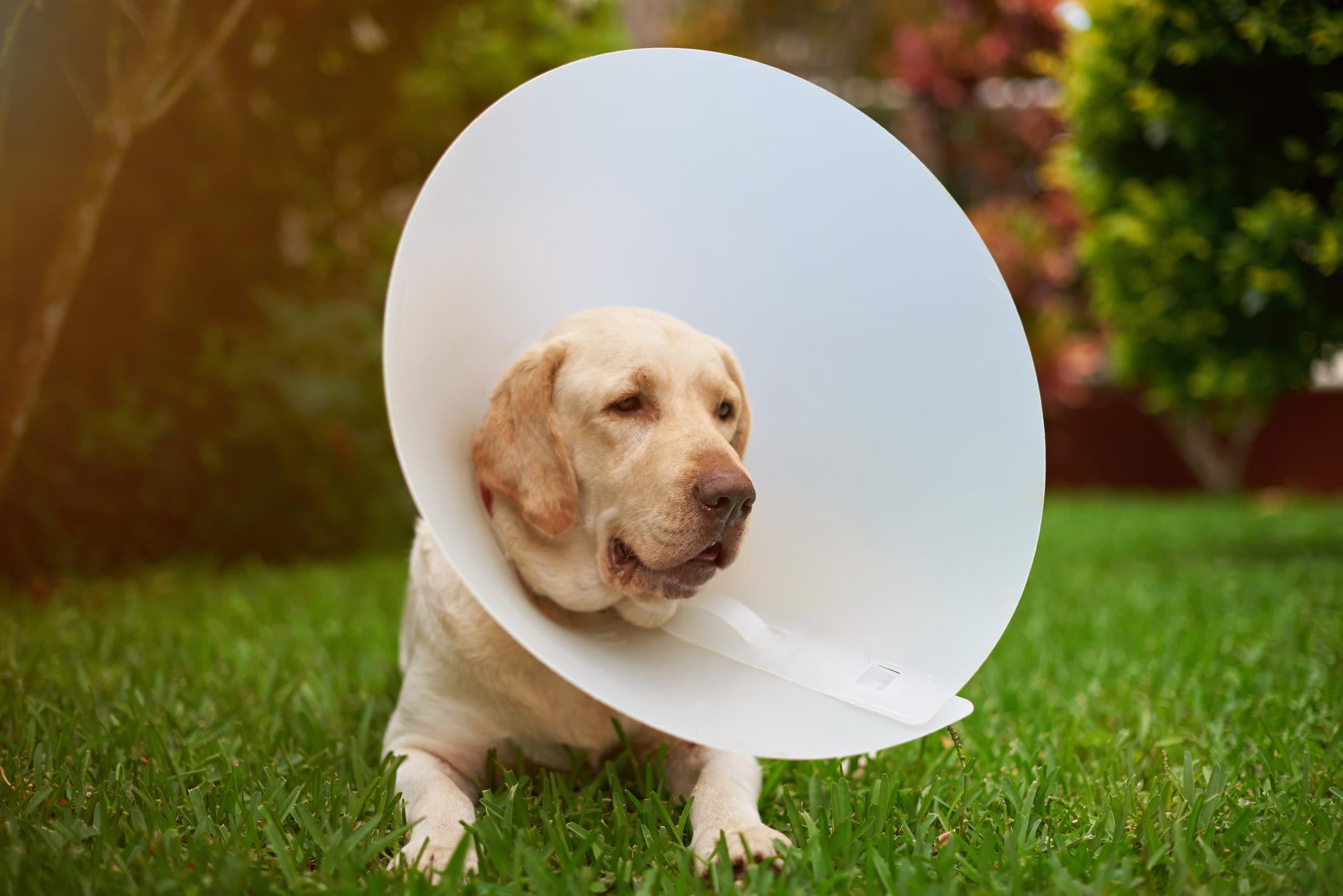 Dog with cone on head near Apple Tree Cove Animal Hospital in Kingston, Washington