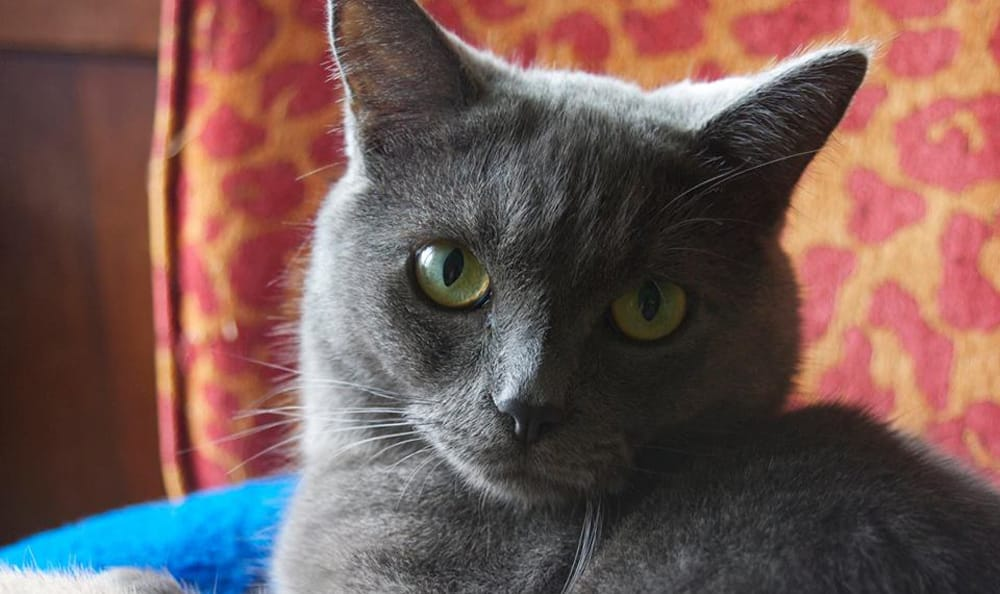 Grey cat at Pet Samaritan Clinic