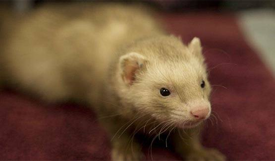 Domesticated ferret at Angeles Clinic For Animals in Port Angeles, Washington