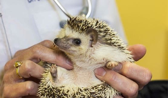 Porcupine receiving treatment at Niles Veterinary Clinic in Niles, Ohio