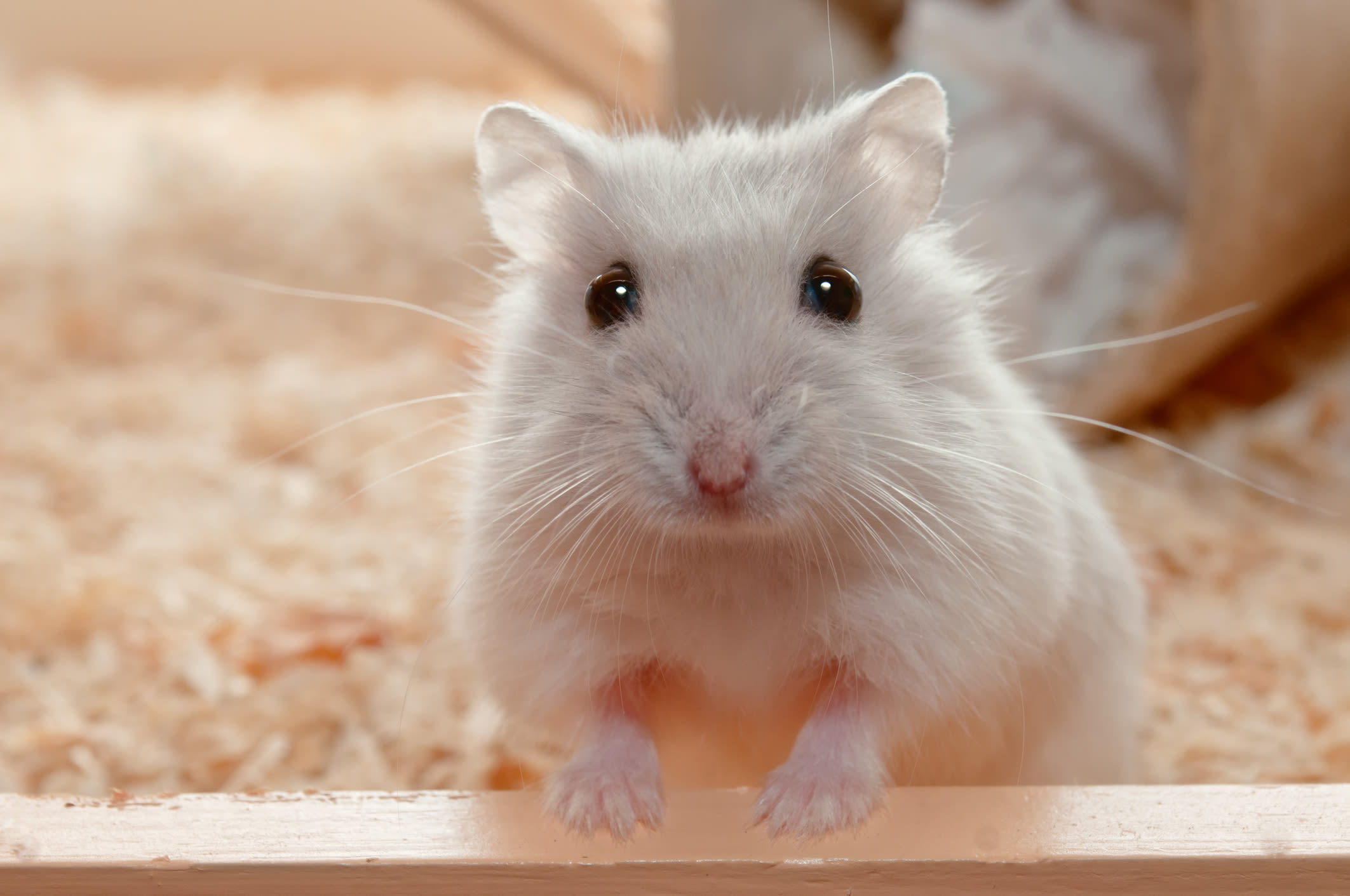 A cute hamster at Black Forest Veterinary Clinic in Colorado Springs, Colorado