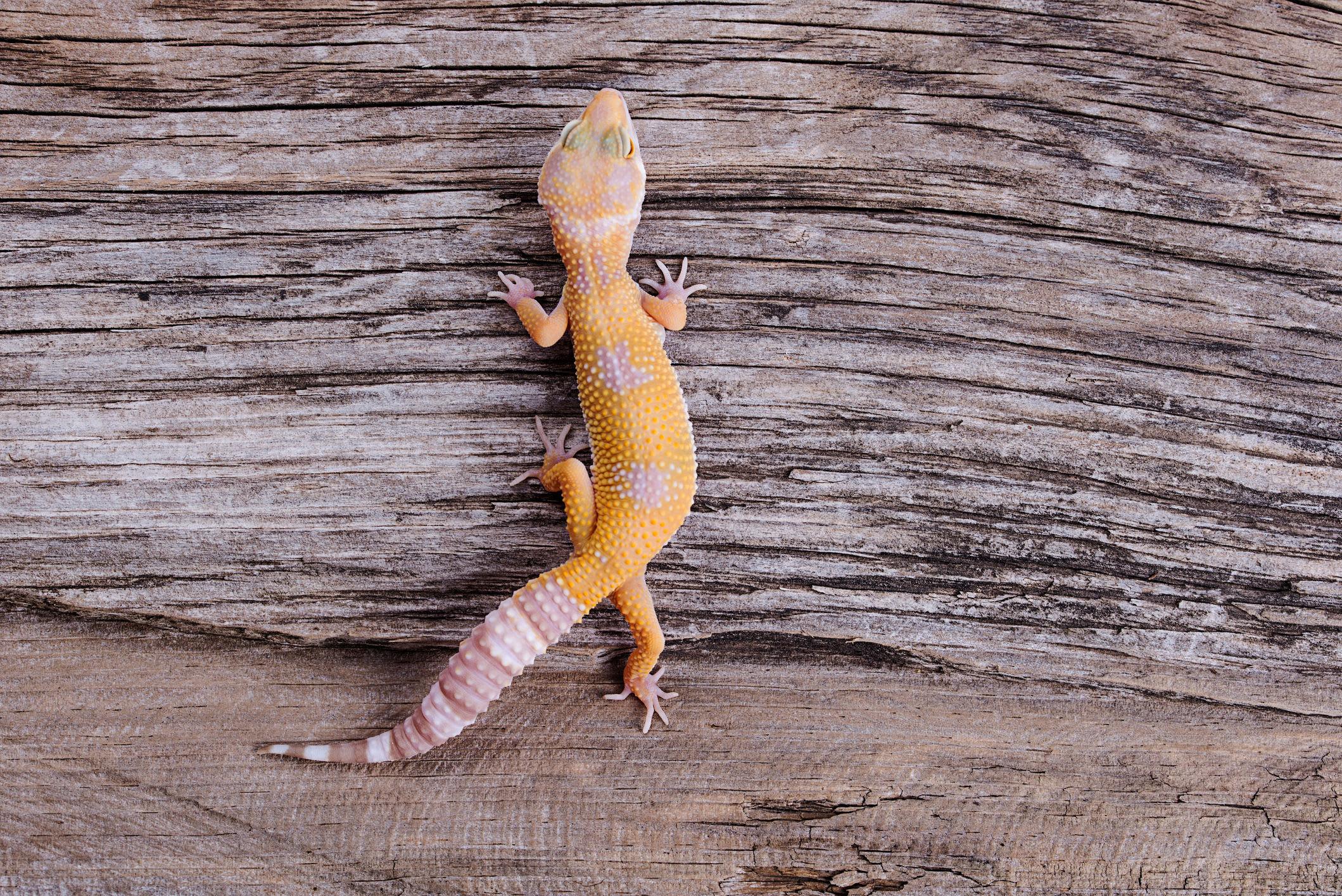 Exotic gecko at Black Forest Veterinary Clinic in Colorado Springs, Colorado