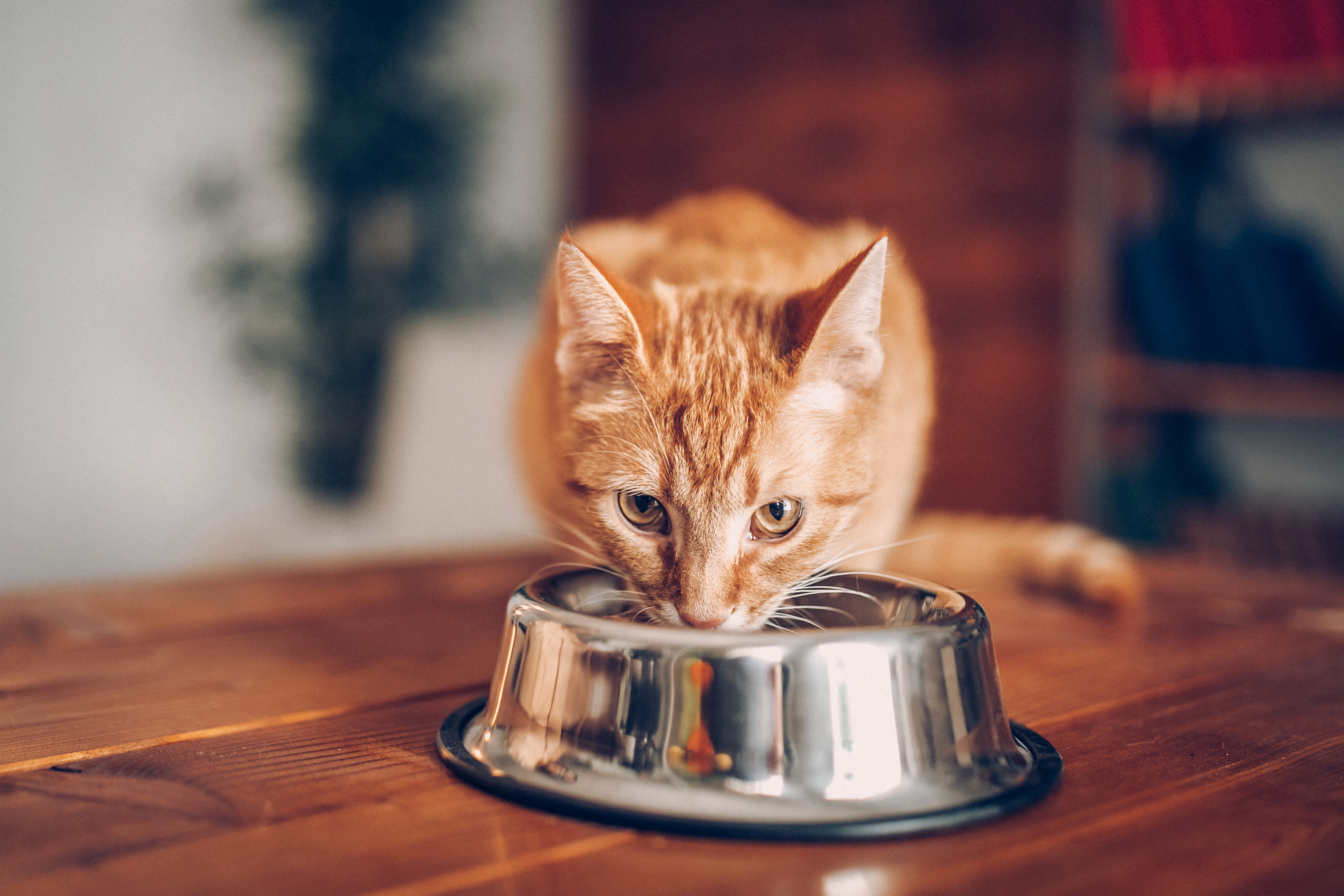 A cat eating at Kenmore Animal Hospital in Kenmore, New York