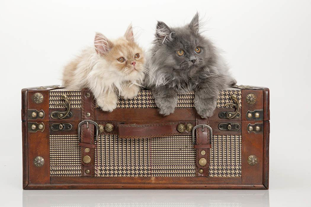 Kittens over the trunk at Angeles Clinic For Animals in Port Angeles, Washington