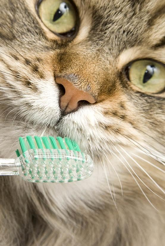 Cat with toothbrush at Niles Veterinary Clinic in Niles, Ohio
