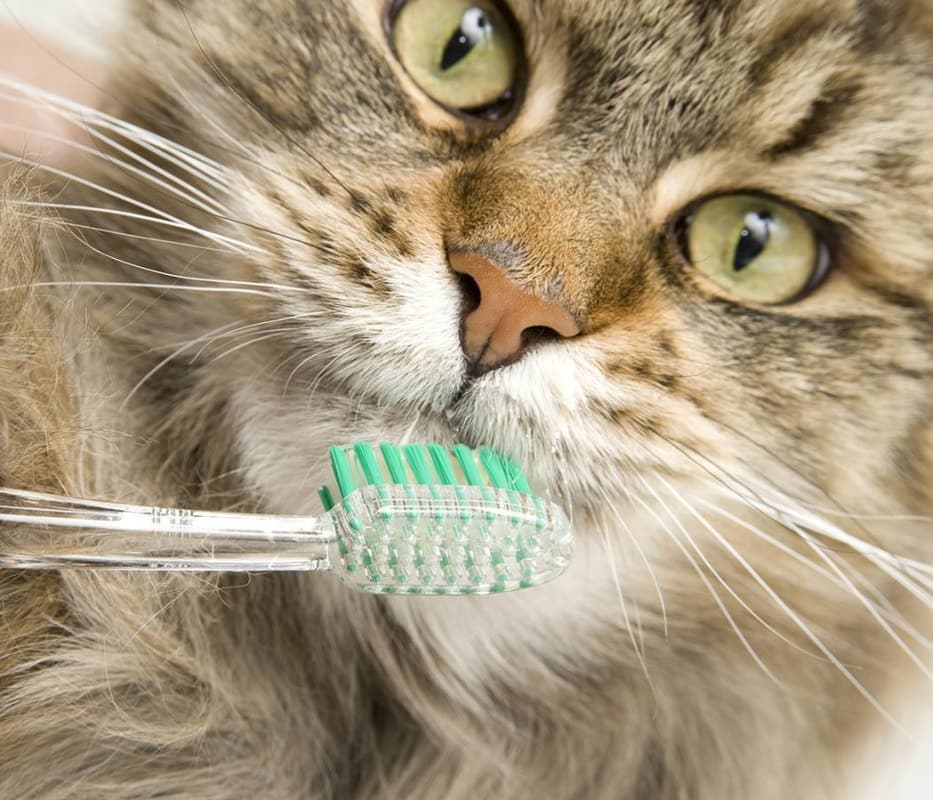 Cat with toothbrush at North Paw Animal Hospital in Durham, North Carolina