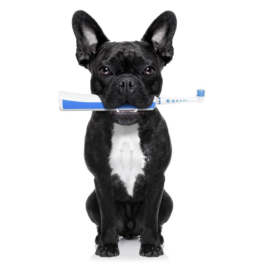 A doggie with toothbrush at North Paw Animal Hospital in Durham, North Carolina