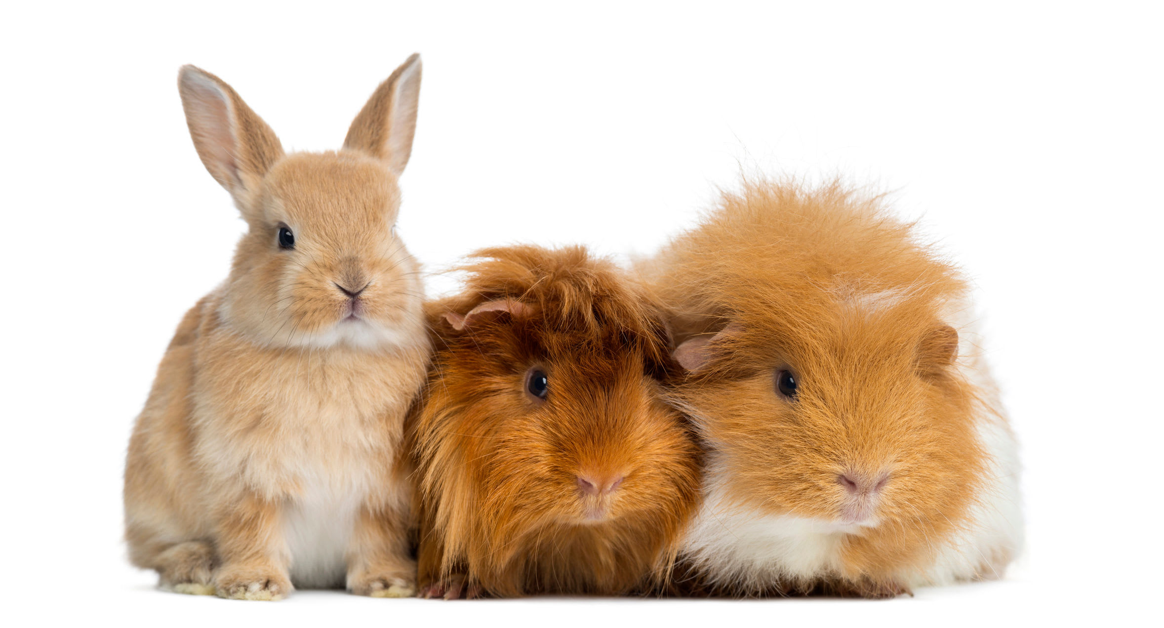 Rabbit and guineas at Angeles Clinic For Animals in Port Angeles, Washington